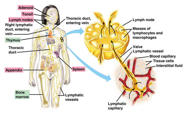 the lymphatic system lab essay example Study flashcards on sample test - lymphatic system at cramcom quickly memorize the terms, phrases and much more cramcom makes it easy to get the grade you want.